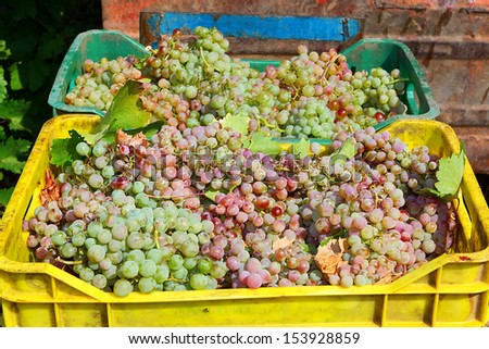 WIne grapes in crate boxes after harvesting at a vineyard, shallow dof - stock photo