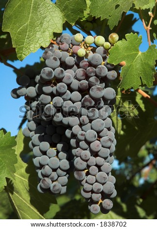 Wine grapes & leaves - stock photo