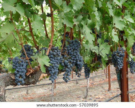 Crushed grapes Stock Photos, Images, & Pictures | Shutterstock