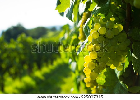 wine grapes on cordon at wineyard before harvest