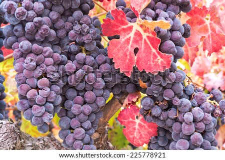 Wine Grapes on the Vine in Fall - stock photo