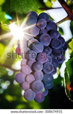 Wine grapes vineyard at sunset, autumn in France, natural concept - stock photo