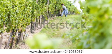 wine harvest in Southern Moravia, Czech Republic - stock photo
