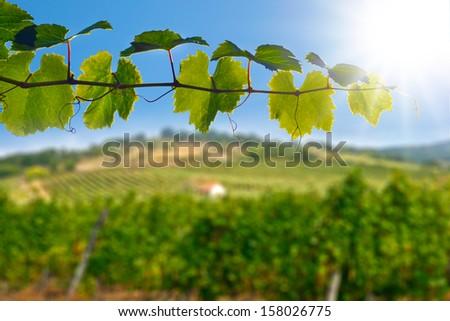 Wine Leafs Vineyard House Plant Detail Landscape Tokaj Hungary - stock photo