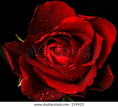 Wine-red rose with water drops - stock photo