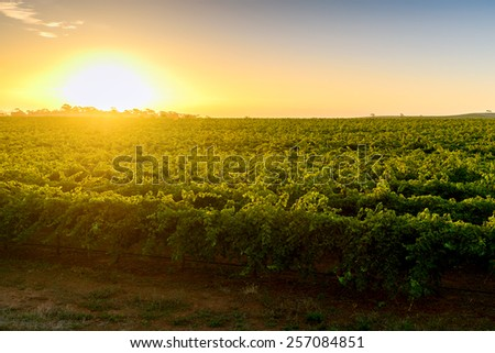 Wine valley at warm sunset - stock photo
