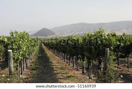 Wine Vineyard - stock photo