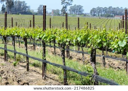 Wine Vineyard in Spring - stock photo