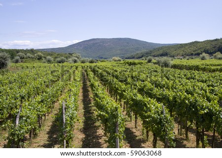 Wine yard with mountains on the horizon - stock photo