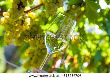 wineglass with wine in the vineyard of a winemaker. weingarten in autumn. ripe wine grapes - stock photo