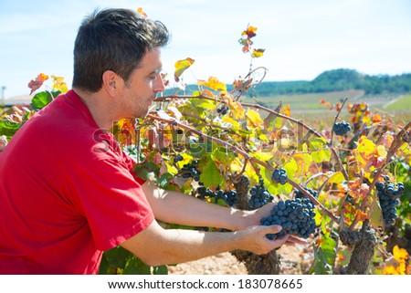 Winemaker harvesting Bobal grapes in mediterranean vineyard fields - stock photo