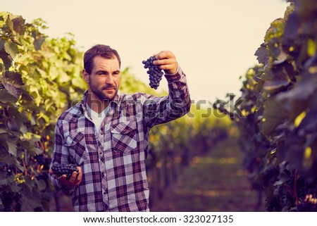 Winemaker in vineyard picking blue grapes, toned. - stock photo