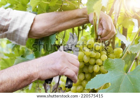 Winemaker man picking grapes harvest time - stock photo