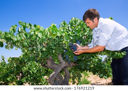 Winemaker oenologist checking bobal wine grapes ready for harvest in Mediterranean - stock photo