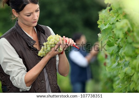 Winemaker with bunch of grapes - stock photo