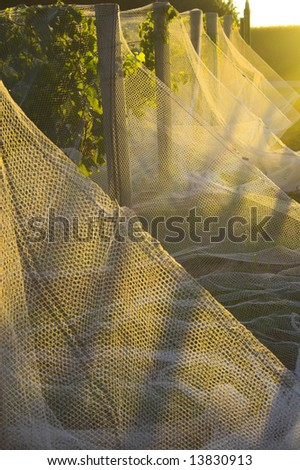 Winery in Nebraska with vines covered by a net to protect grapes from birds - stock photo
