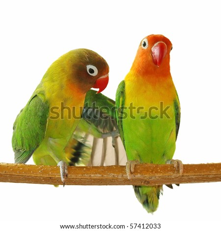 Wing and love, Fischer's Lovebird isolated on white Agapornis fischeri