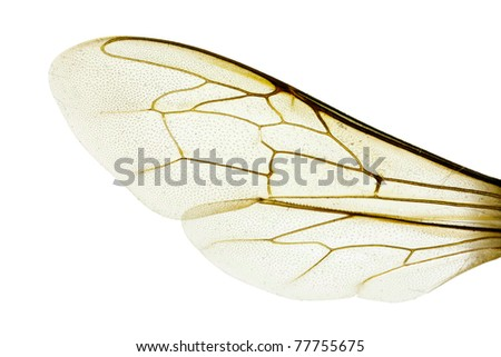 Wing of Western honey bee, Apis mellifera, wingspan 18mm, isolated on white - stock photo