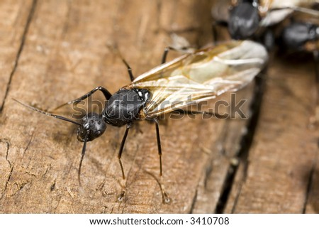 Winged carpenter ant closeup - stock photo