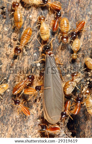 Winged reproductive male termite in a nest attended by workers and nasutes