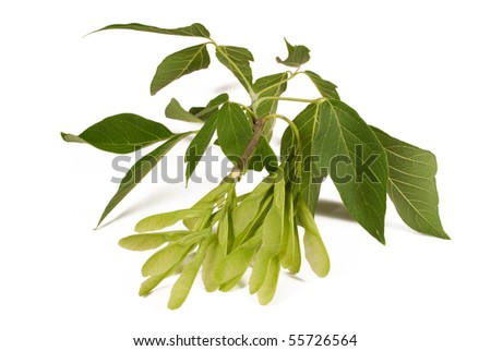 Winged seed pods and leaves from a maple tree. Isolated on white.