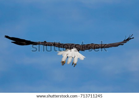 Wings spread wide, a bald eagle soars into the blue sky. Eagle is flying away so its bright white tail feathers are open and visible.
