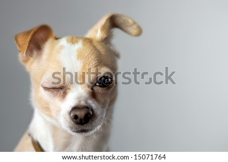 Winking Chihuahua Appears To Say Hello - stock photo