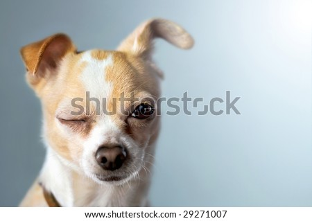 Winking Chihuahua on Blue Background - stock photo
