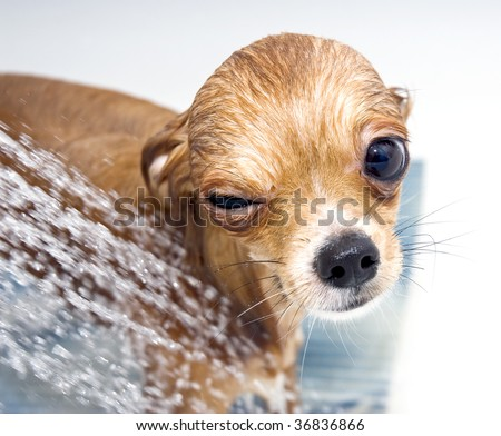 winking funny chihuahua taking  a shower - stock photo