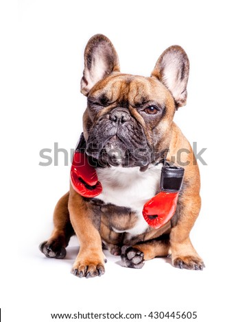 Winking funny french bulldog dog, sitting with red boxing gloves. - stock photo