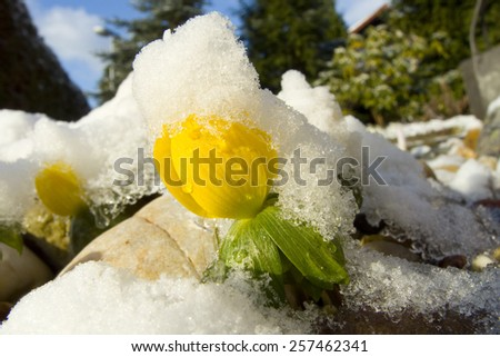 winter aconite  with ice and snow - stock photo