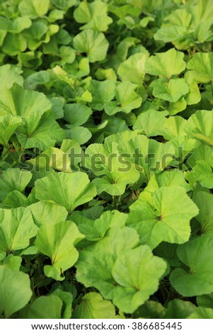 Winter amaranth crops grow at vegetable garden - stock photo