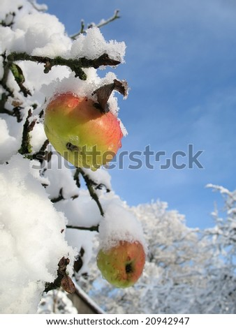 Winter apple vertical - stock photo