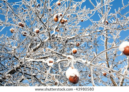 Winter apples, Russia, Moscow region - stock photo