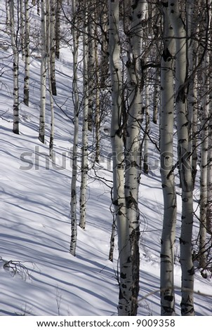 Winter, aspens in snow with blue sky,		Cordillera,	Colorado