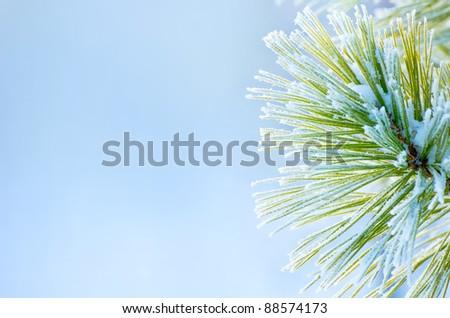 Winter background. Frozen branch of cedar on a blue background - stock photo