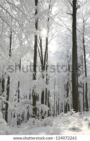 Winter beech forest on the mountain slope on a sunny morning.