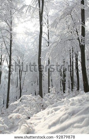 Winter beech forest on the slope on a frosty sunny morning.