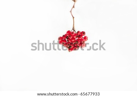 Winter berries on white background - stock photo