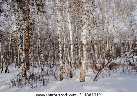 Winter birch and pine forests, snow drifts, ski slopes and high mountains