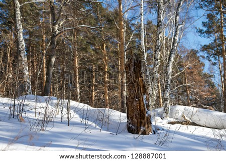 Winter birch forest in the rays of the evening sun