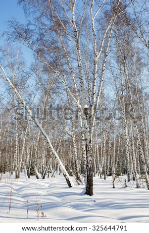 Winter birch forest. Snowing winter background. Tree with a nesting box. - stock photo