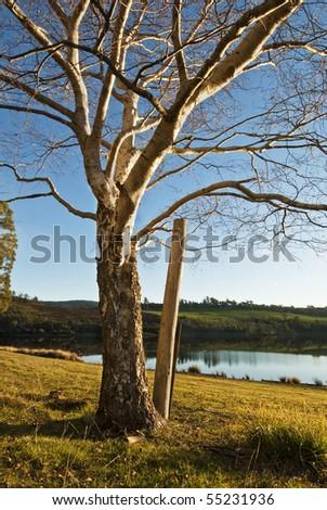 Winter birch, Lake Trevallyn, Launceston, Tasmania - stock photo