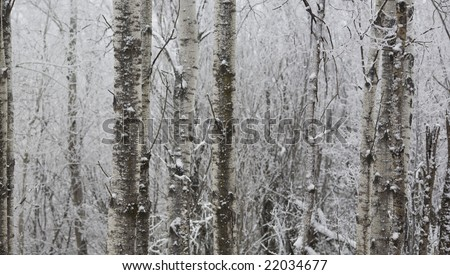 Winter birch stand abstract background image. - stock photo