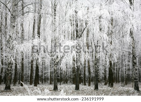 Birch tree winter stock photos images amp pictures shutterstock