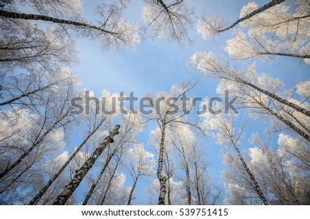 winter birches view from below