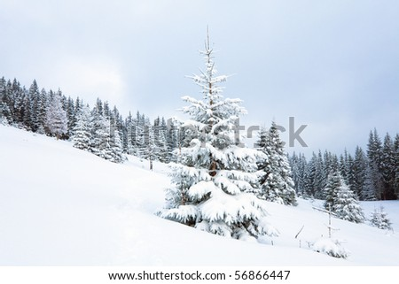 winter calm dull mountain landscape with fir trees  on slope (Kukol Mount, Carpathian Mountains, Ukraine) - stock photo