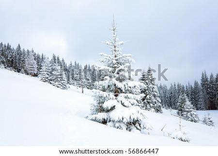 winter calm dull mountain landscape with fir trees  on slope (Kukol Mount, Carpathian Mountains, Ukraine) - stock photo
