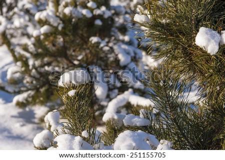 winter cold snow sunshine green tree - stock photo