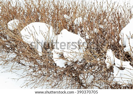 Winter concept. Bushes are covered with snow, close up - stock photo